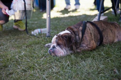 bulldog day 2017 (14)
