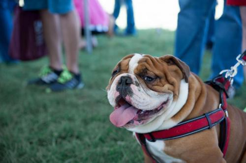 bulldog day 2017 (61)
