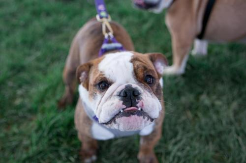 bulldog day 2017 (64)